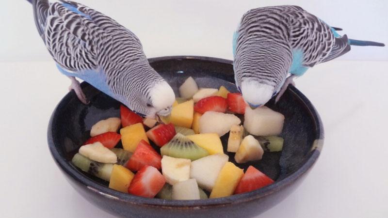 Budgie Anika's Salad