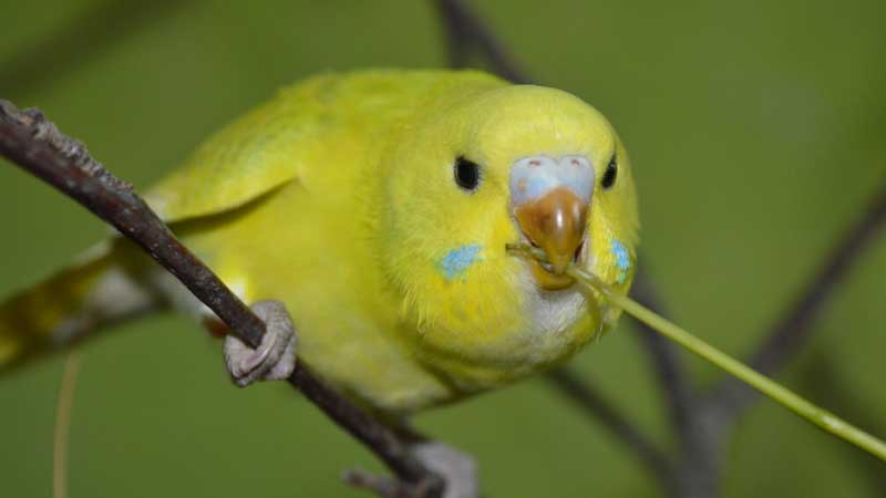 Budgie Behavior