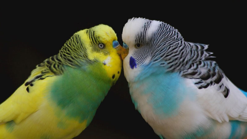 Budgie Breeding Mix