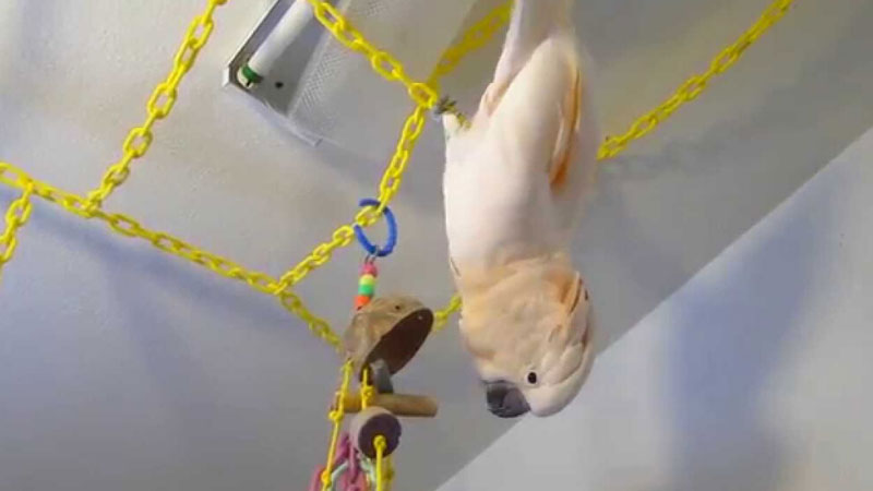 Budgie Ceiling Swing