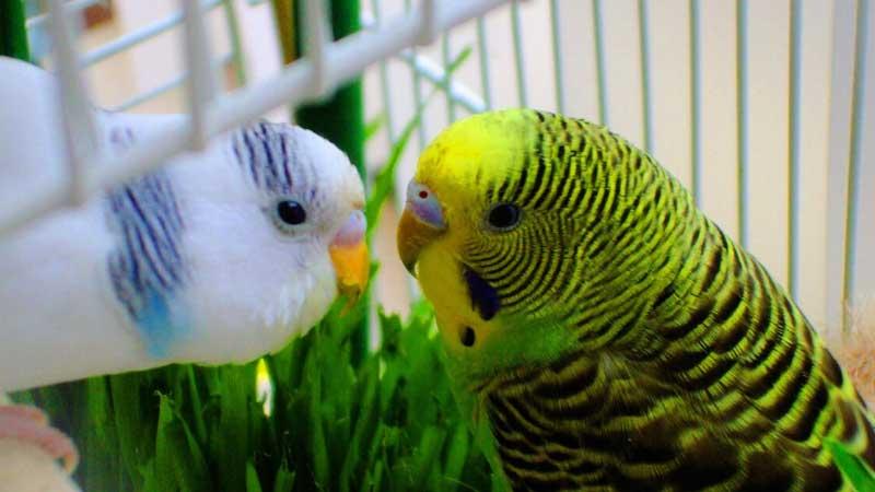 Budgie Parakeet Breeding