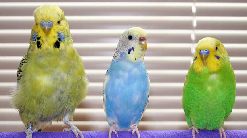Budgie age