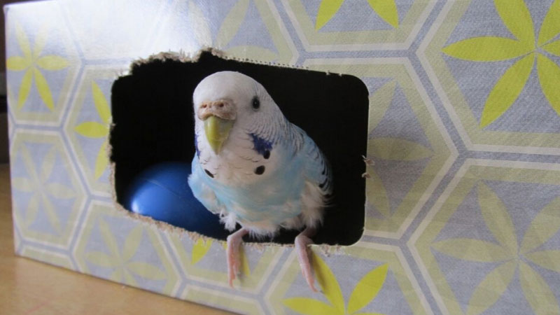 Budgie box of tissues