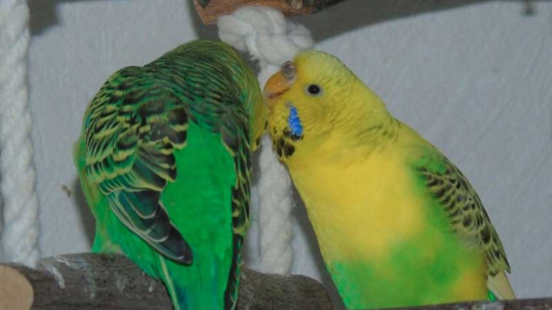 Budgie's or Parakeet's Sex