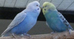 Budgie Behavior Budgie Behavior - Budgieplace