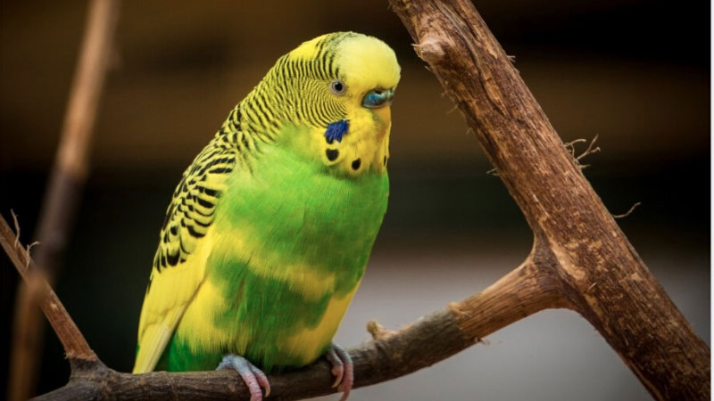 budgie Natural Perches
