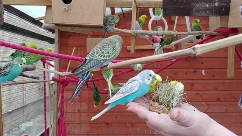 budgie's aviary