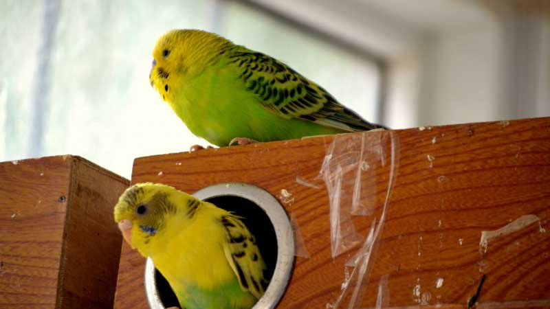 budgies keet house