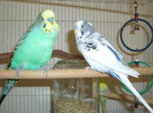 Advanced Budgie Parakeet Care - Budgieplace