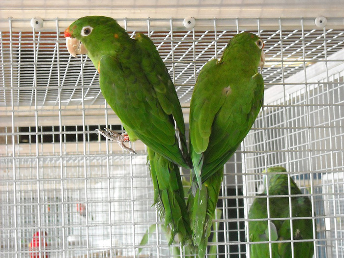 parakeets-cage